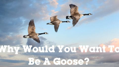 Why Would You Want To Be A Goose?