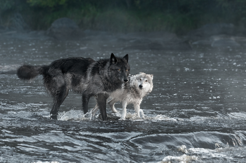 the tale of two wolves
